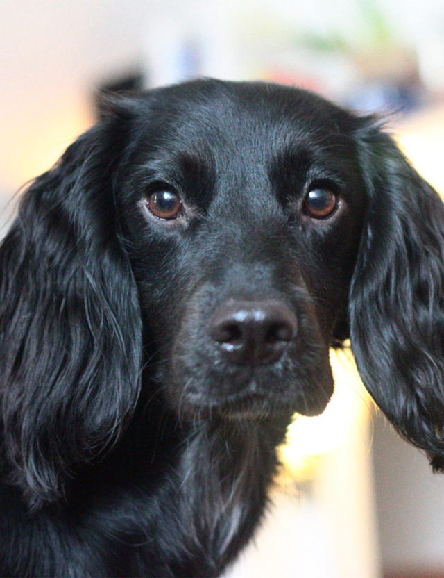 Noodle the sprocker spaniel